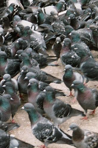 bird / pigeon control